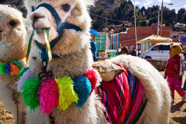 Weihnachten in Südamerika: In Ecuador geht's auf Lamas zur Messe