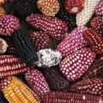 Mais aus Bolivien