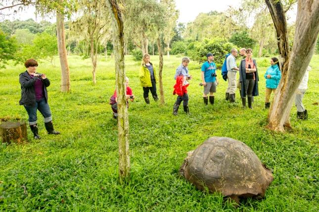 Kaum vorstellbar beim Anblick dieses ausgewachsenen Exemplares, doch als Babies sind Galapagosschildkröten beliebtes Schmugglergut.