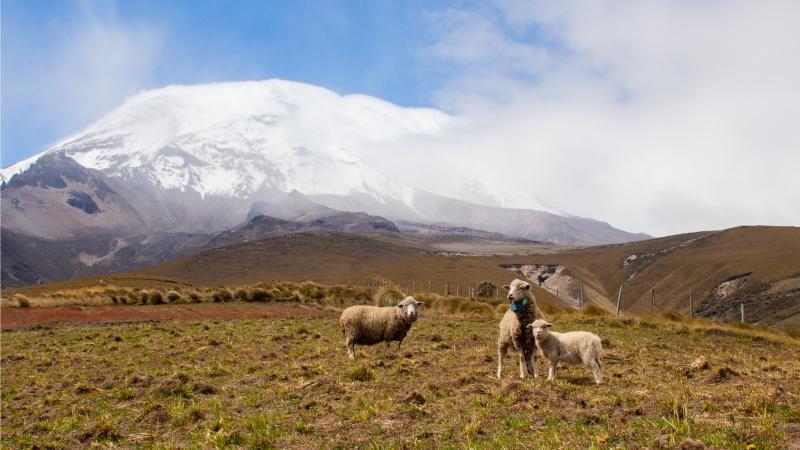 Eine schöne Kulisse mit spannender Geschichte: Schafe knapp unter der Schutzzone vor dem Chimborazo Vulkan im Jahr 2018.