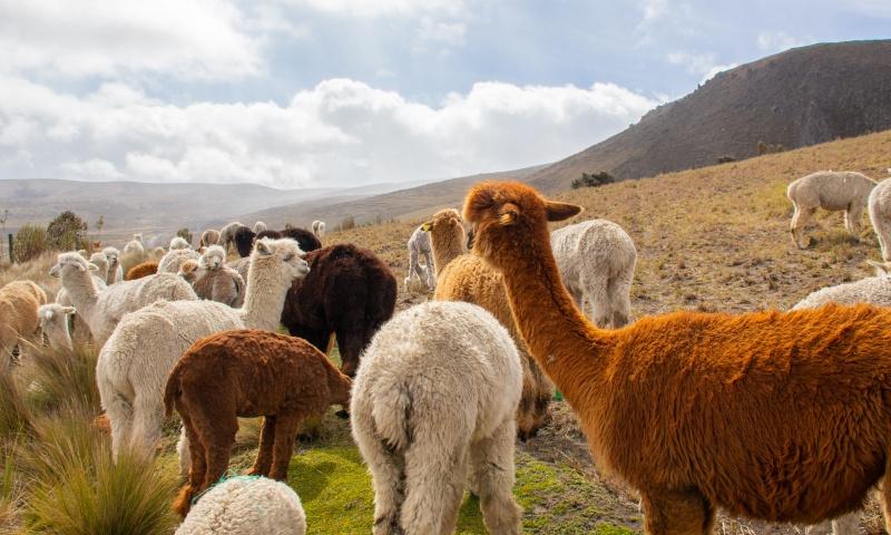 Die natürliche Farbe von Alpakawolle hat wie ihre Besitzer eine breite Farbpalette anzubieten: Es gibt sie in den schönsten Tönen von Cremeweiß über Bronze bishin zu Tiefschwarz.