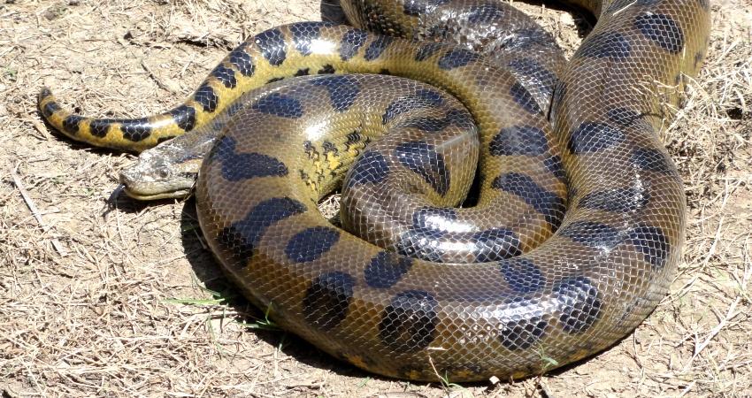 Die Anakonda ist eine gefährliche Würgeschlange! Quelle: Wikipedia