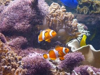 Nemo-Fische