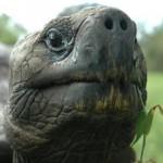 Riesenschildkröte_80035