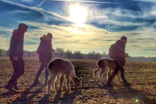 Einmal im Jahr, wenn die Nachttemperaturen etwas höher sind, werden die Alpakas in Deutschland von ihrer dicken Wolle befreit.