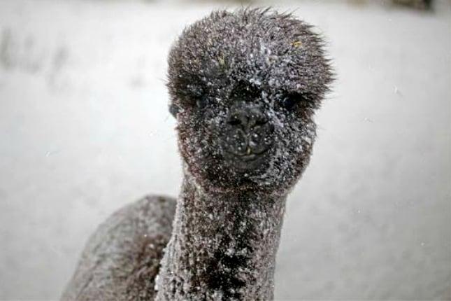 Seltenheitswert: Alpakas in Deutschland im Schneegestöber