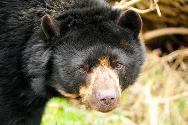 Der bedrohte Andenbär lebt im Hochregenwald und ist in freier Wildbahn vor allem in Kolumbien und Peru zu finden. Quelle: flickr
