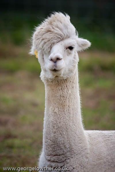 Die Lustigen Frisuren Der Alpakas