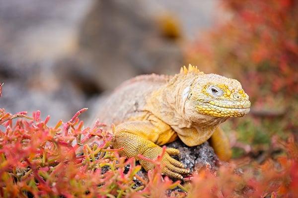 Seeleguan auf Galapagos