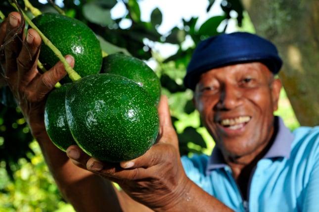 Avocados werden im noch harten Zustand geerntet