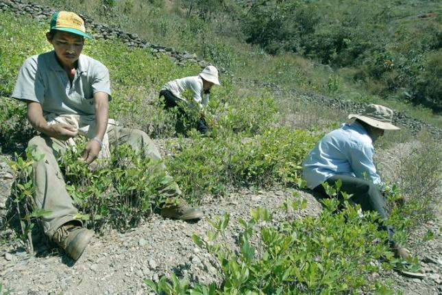 Kokablätter werden vor allem im Hochland Perus angebaut, verkauft und konsumiert