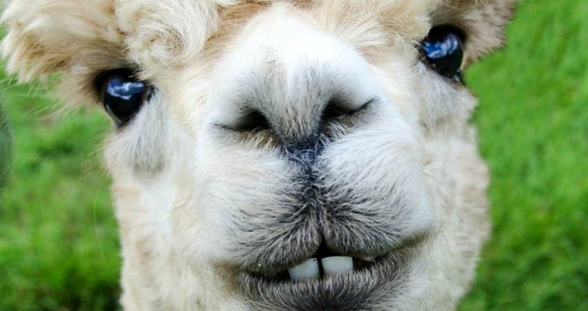 Nicht nur beim Anblick der weichen Wolle würde man Alpakas gerne Knuddeln! Quelle: Pixabay