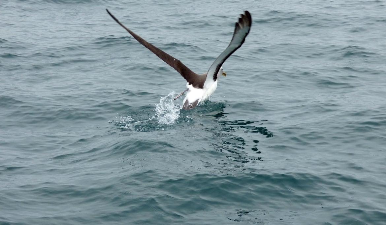 albatross-galapagos