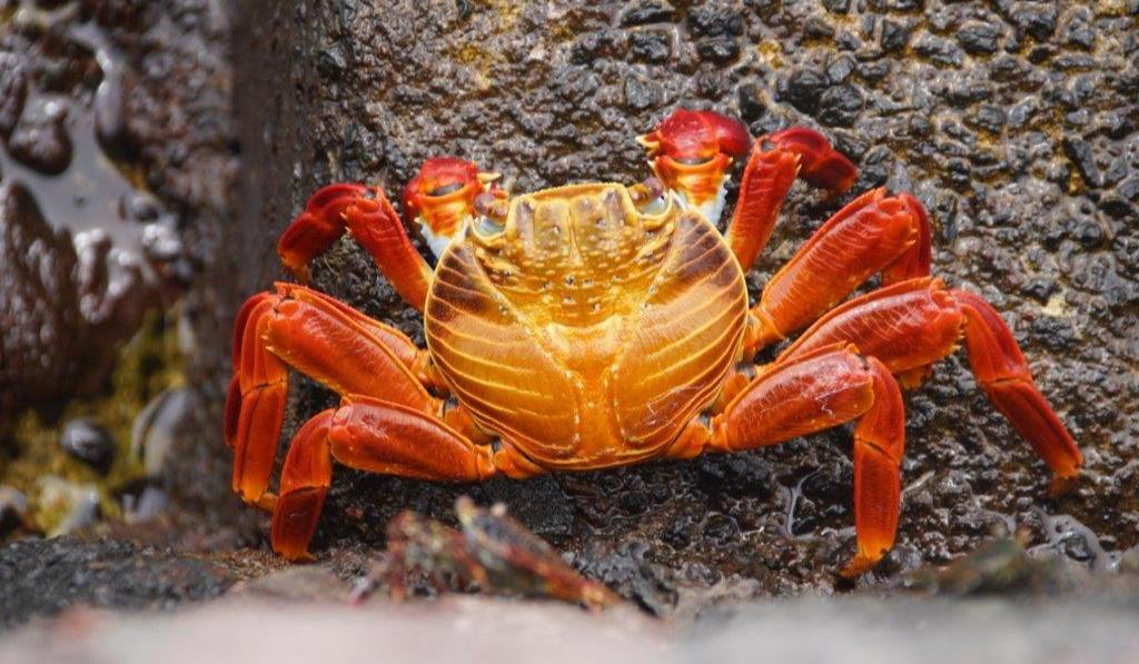 galapago-rote-krabbe