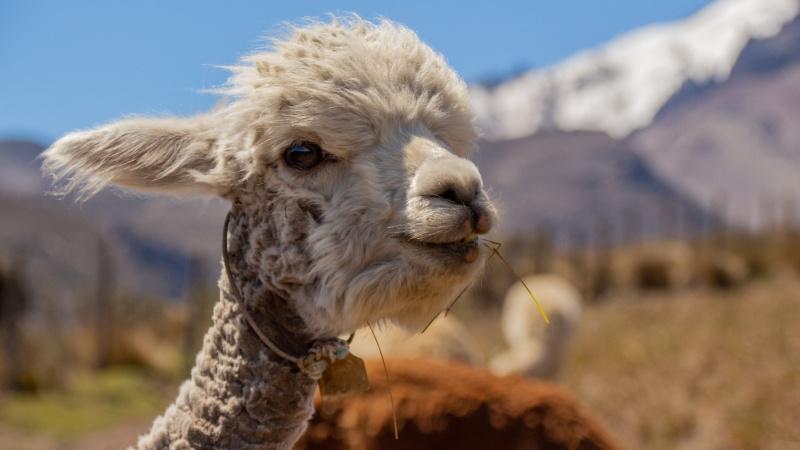Ein Anblick, der jeden unwillkürlich etwas glücklicher stimmt...ein junges Alpaka vor dem Chimborazo-Vulkan.