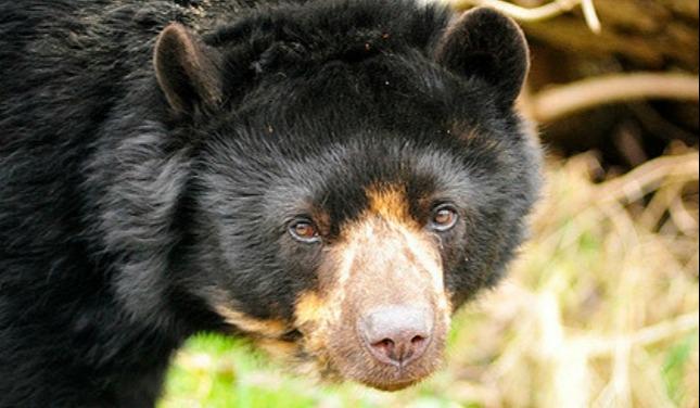 flickr-andenbär-oso-de-anteojos